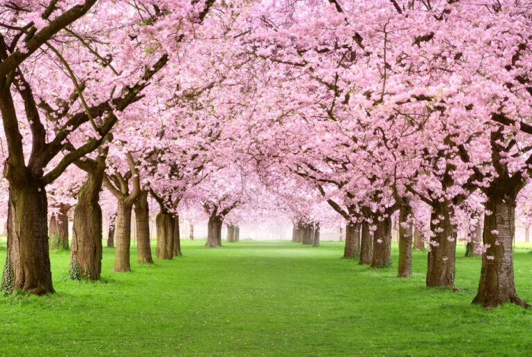 Gorgeous-cherry-trees-in-blossom
